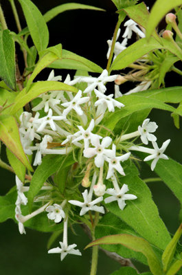 Abelia triflora
